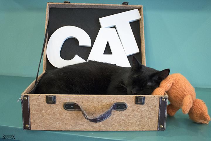 Una giornata a Milano: uno dei gatti del Crazy Cat Café