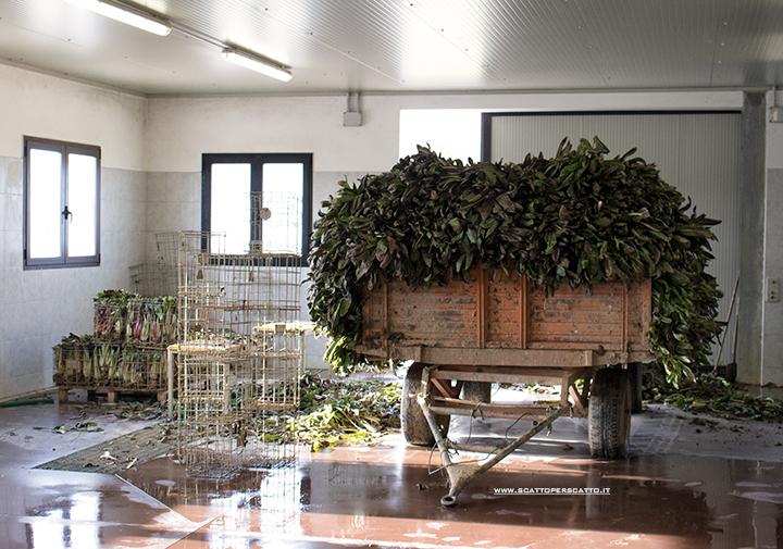 Radicchio rosso di Treviso IGP: il radicchio raccolto viene legato in mazzi