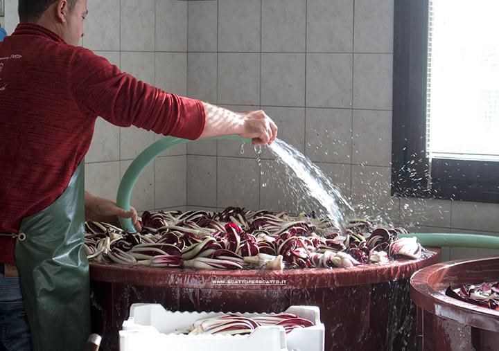 Radicchio rosso di Treviso IGP: pulizia del radicchio